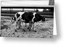Cows Coming And Going Greeting Card