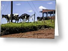 Cows - Costa Rica Greeting Card