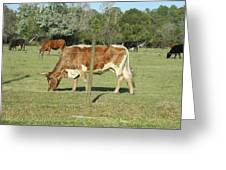 Cows Grazing Greeting Card