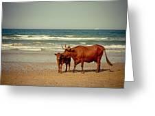 Cows On Sea Coast Greeting Card by Raimond Klavins