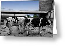 Cows Peek A Boo Greeting Card
