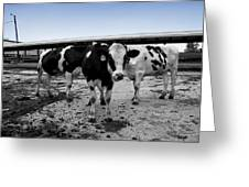Cows Three In One Greeting Card
