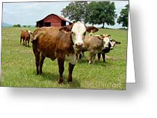 Cows8945 Greeting Card
