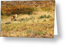 Coyote Catch Greeting Card by Rebecca Adams