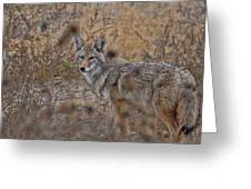 Coyote Greeting Card by David Armstrong
