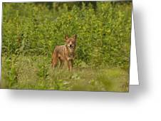 Coyote Happy Greeting Card