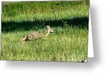 Coyote In Boulder Higlands Greeting Card