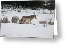 Coyote In Crossing Greeting Card