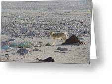 Coyote In Death Valley National Park -a Greeting Card