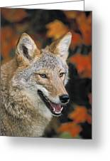 Coyote In Maple Greeting Card