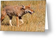 Coyote In Rocky Mountain National Park Greeting Card