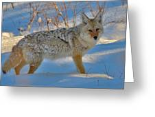 Coyote In The Blue Greeting Card