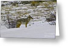 Coyote In The Snow Greeting Card