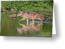 Coyote Looking For Breakfast Greeting Card