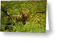 Coyote Of The Woods Greeting Card