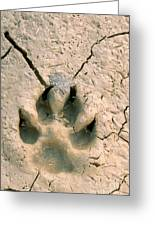 Coyote Print Greeting Card