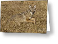 Coyote Running Greeting Card