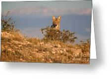 Coyote Watching Greeting Card