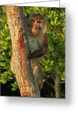 Crab Eating Macaque Greeting Card by Ramona Johnston