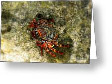 Crab In Cozumel Greeting Card