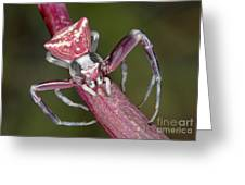 Crab Spider Hunting On Orchid Greeting Card