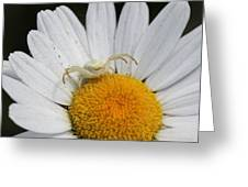Crab Spider On Daisy Greeting Card