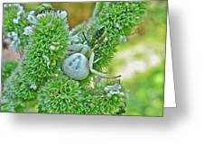 Crab Spider - Thomisidae Greeting Card