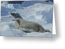 Crabeater Seal On An Iceberg Greeting Card