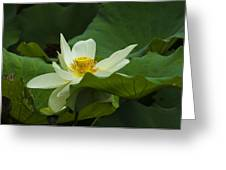 Cream Colored Lotus Greeting Card