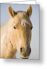 Cream Coloured Horse Head Looking Greeting Card
