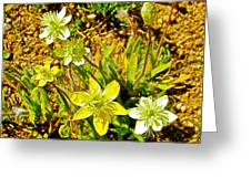 Cream Cups In Antelope Valley California Poppy Reserve-california  Greeting Card