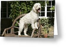 Cream Labradoodle On Wooden Chair Greeting Card