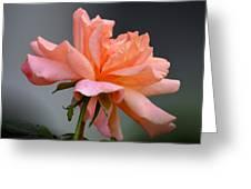 Creamy Peach Rose Greeting Card