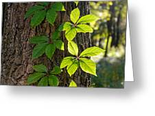 Creeper Leaves Under The Sun Greeting Card
