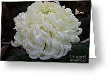 Creme Au Lait Greeting Card