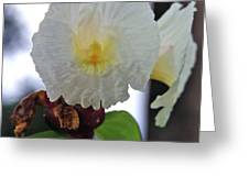 Crepe Ginger Costus Speciosus Greeting Card