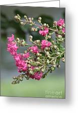 Crepe Myrtle After The Rain Greeting Card