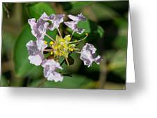 Crepe Myrtle Blossom Ring Greeting Card