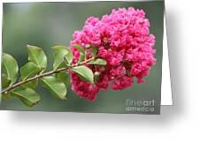 Crepe Myrtle Branch Greeting Card