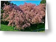Crepey Myrtle Tree In Istanbul-turkey Greeting Card