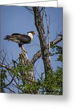 Crested Caracara Greeting Card