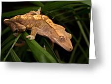 Crested Gecko Rhacodactylus Ciliatus Greeting Card