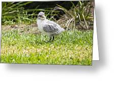 Crested Tern Chick - Montague Island - Australia Greeting Card