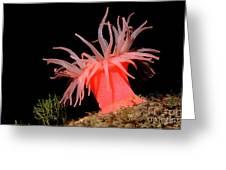 Crimson Anemone Cribrinopsis Fernaldi Greeting Card