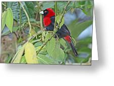 Crimson-collared Tanager Greeting Card