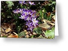 Crocus Amongst The Leaf Litter Greeting Card