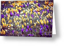 Crocus Field Greeting Card