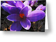 Crocus Purple And Orange Greeting Card