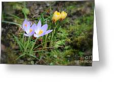 Crocuses In Bloom Greeting Card