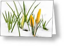 Crocuses In Snow Greeting Card